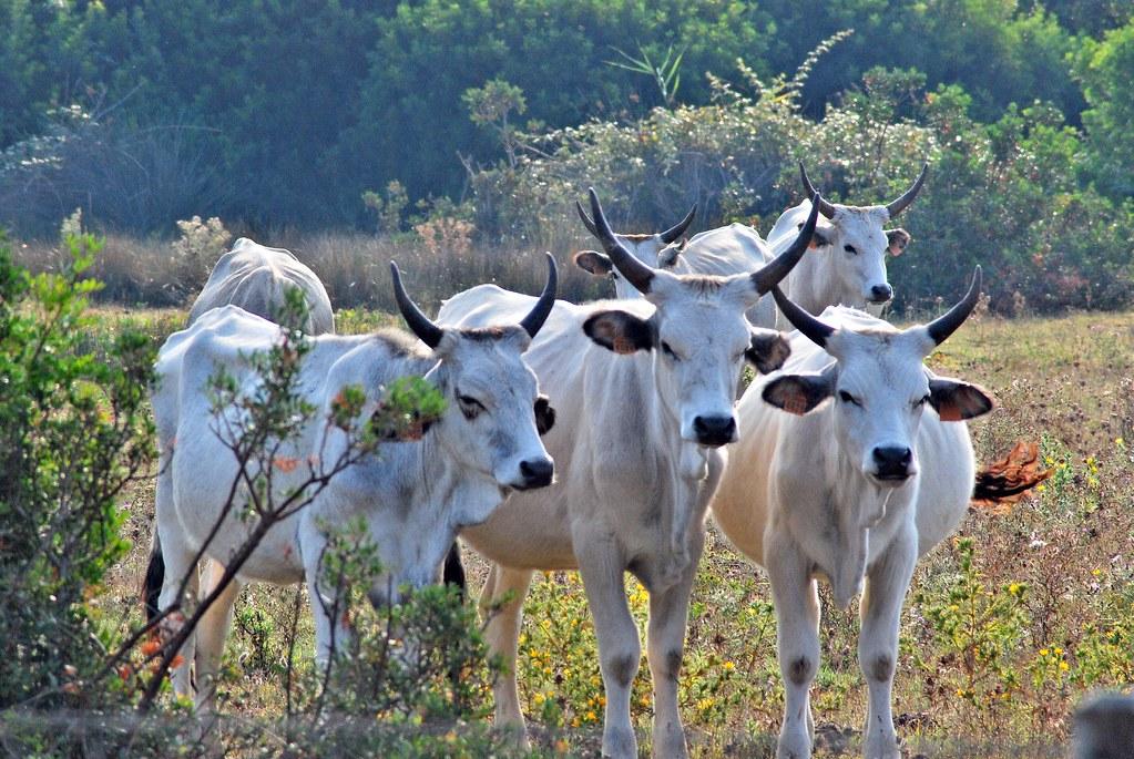 Caratteristiche della carne bovina maremmana